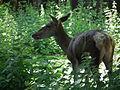 Weiblicher Rothirsch Wildpark Pforzheim.JPG