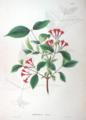 Weigela hortensis SZ29.png