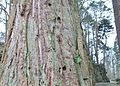 Wellingtonia tree with Treecreeper roosting holes, Blair Castle, Dalry, Scotland.jpg