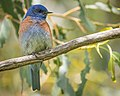 Western Bluebird (m) (34141520601).jpg