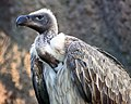 White-backed Vulture Gyps africanus.jpg