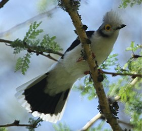 White-crested Helmet-Shrike.jpg