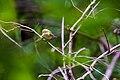 White-eyed vireo (34331507006).jpg