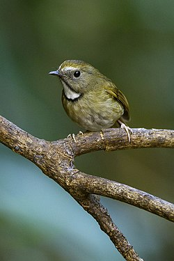 White-gorgeted Flycatcher - Thailand S4E9906 (19328651121).jpg