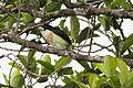 White-mantled Barbet (Capito hypoleucus) (8079738287).jpg