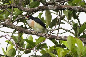 White-mantled barbet - Image: White mantled Barbet (Capito hypoleucus) (8079738287)