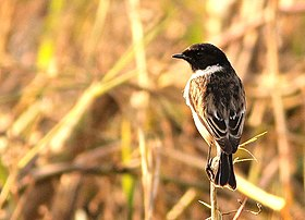 White-tailed stonechat.JPG