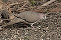 White-tipped Dove National Butterfly Center Mission TX 2018-02-28 15-32-25-2 (39952915564).jpg