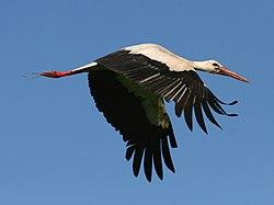 White Stork (Ciconia ciconia) (5).jpg