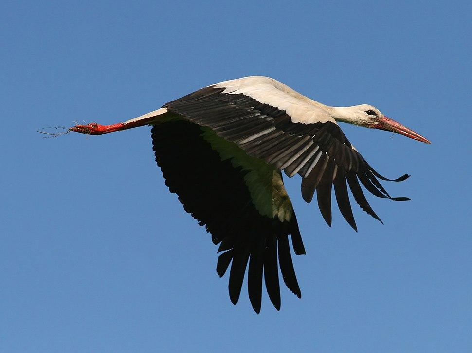 White Stork (Ciconia ciconia) (5)