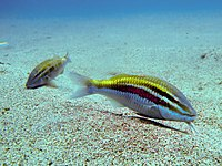 Whitesaddle goatfish 1