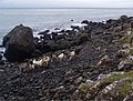 Wild Goats, South Mull Coast - geograph.org.uk - 652137.jpg