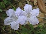 Wild Petunia Blue Flower 3.JPG