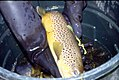 Wild trout project e walker river bridgeport0117 brown trout (25670929314).jpg