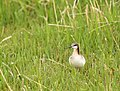 Wilson's Phalarope on Seedskadee National Wildlife Refuge (34555786042).jpg