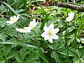 Wood anemones - geograph.org.uk - 384716.jpg