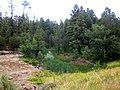 Woodland Reservoir Pine Trees and Plants - panoramio.jpg