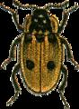 Xylodrepa quadripunctata Jacobson.png