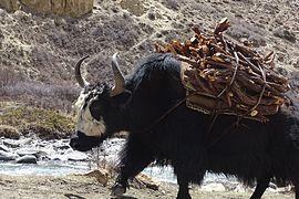 https://upload.wikimedia.org/wikipedia/commons/thumb/d/dd/Yak-carrying-wood_Dho_Dolpo.jpg/270px-Yak-carrying-wood_Dho_Dolpo.jpg