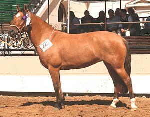Criollo horse - Argentine Criollo mare