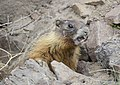 Yellow-bellied Marmot 01.jpg