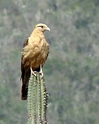 Yellow-headed Caracara, Aragua.jpg