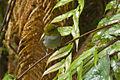 Yellow-throated Bush-Tanager - South Ecuador S4E0611 (23224136086).jpg
