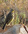 Yellow-throated Longclaw (Macronyx croceus) (31610133403).jpg