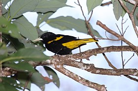 Yellow-winged Cacique.jpg