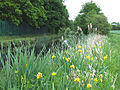 Yellow Flag and Rushes by the Stourbridge Canal, Staffordshire - geograph.org.uk - 438789.jpg