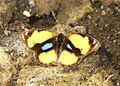 Yellow Pansy (Junonia hierta) UN by Raju Kasambe (2).jpg