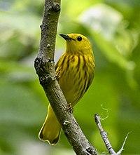 Yellow Warbler Setophaga aestiva m Toronto5.jpg