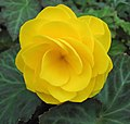 Description and Classification 120px-Yellow_begonia