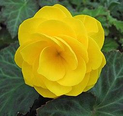Begonia bulwiasta żółta