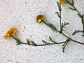Yellow chamomile.jpg