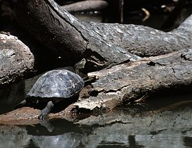Yellow headed temple turtle.jpg