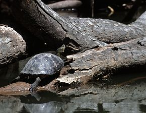 Description de l'image Yellow headed temple turtle.jpg.