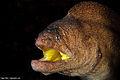 Yellow mouth morey eel.jpg