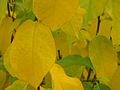 Yellowgreen leaves-mbg1.jpg