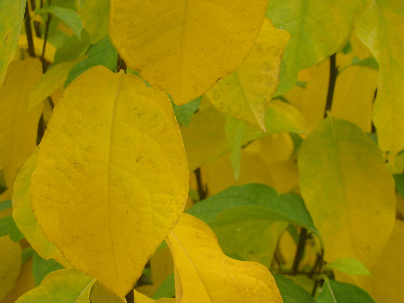 File:Yellowgreen leaves-mbg1.jpg
