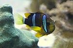 Yellowtail clownfish, Baltimore Aquarium.jpg