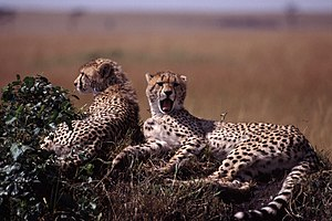 Two young cheetas on a mound. Taken on safari ...