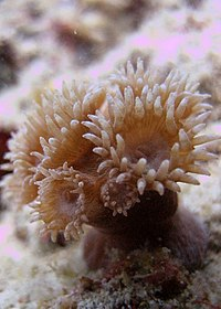 Young Stony coral colony.jpg