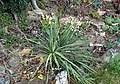 Yucca arkansana fh 1186.11 TX in cultur B.jpg