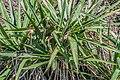 Yucca arkansana in Christchurch Botanic Gardens 01.jpg