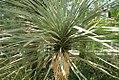 Yucca thompsoniana 2zz.jpg