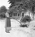 """Z vozičem pelje """"hušte"""" (butare), Staro selo 1951.jpg"""