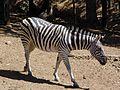 Zebra 5.jpg