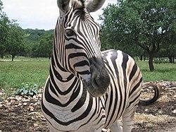 Zebra face.jpg