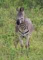 Zebra in Hluhluwe–Imfolozi Park 03.jpg